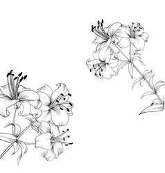the blooming lily vector image