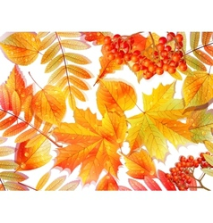Group autumn multicilor leaves on white vector image