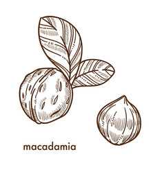 whole macadamia nuts in shell with small leaves vector image vector image
