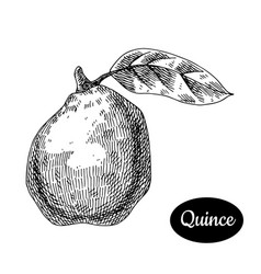 hand drawn sketch style fresh quince vector image