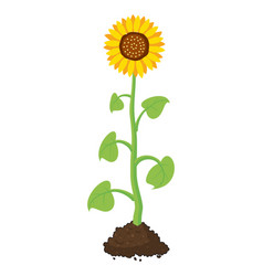 cartoon garden sunflower grow in soil vector image