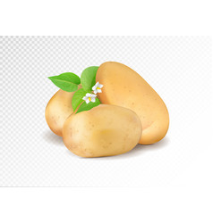 realistic potato with leaf and potato flowers vector image