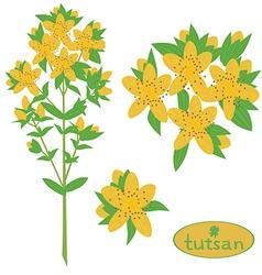 tutsan medicinal plant vektor vector image