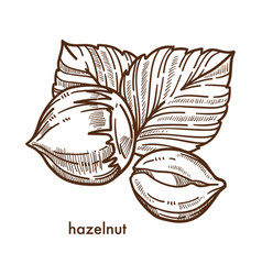 whole healthy tasty ripe hazelnut with big leaves vector image