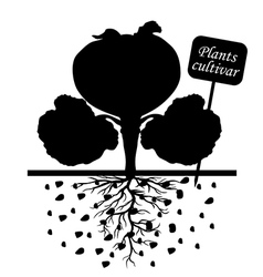 cabbage cultivar vector image