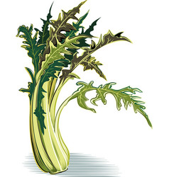 Catalonia chicory plant vector