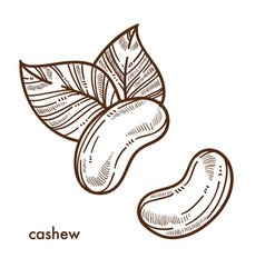 Exotic oriental tasty cashew nuts with big leaves vector