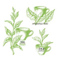 green tea natural herbal drink set vector image