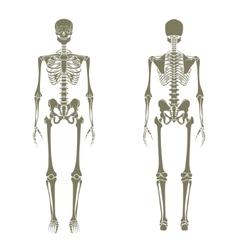 Human skeleton Didactic board of anatomy of human vector image