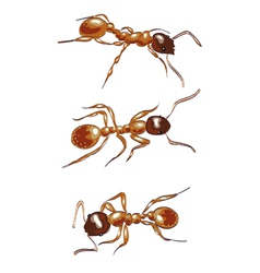 Red ants Isolated on white background vector image