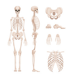 human skeleton in different vector image