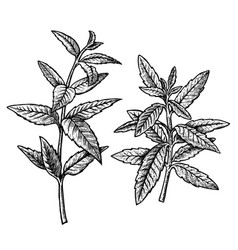 hand drawn verbena leaves and twigs vintage vector image