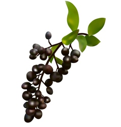 black elderberry vector image