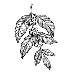 Coffee branch freehand pencil drawing vector