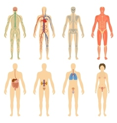 Set human organs and systems of the body vitality vector