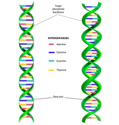 DNA molecule vector image vector image