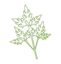 Coriander fresh vegetable vector