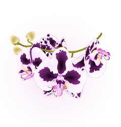 branch orchid flowers spots purple and white vector image