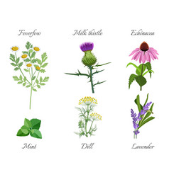Milk thistle and feverfew medical herbs set vector