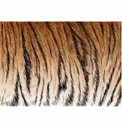 tiger fur stripe pattern vector image
