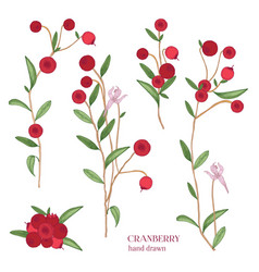 Cranberry set detailed hand drawn branches vector