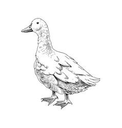 hand drawn domestick duck vector image