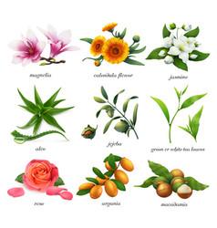 medicinal plants and flavors magnolia calendula vector image