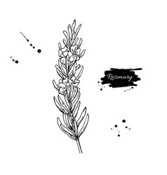 rosemary drawing hand drawn blooming herb vector image