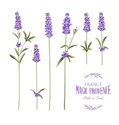 Set of lavender vector image vector image