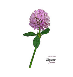 clover flower drawing set isolated wild plant vector image