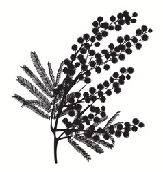 hand-drawn branch of mimosa black silhouette on vector image vector image