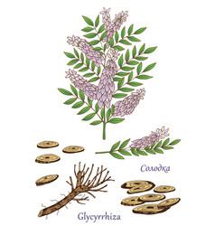 glycyrrhiza 2 vector image