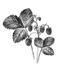 hand drawn wild strawberry vector image