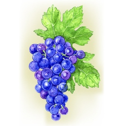 Branch of grapes draw watercolor vector
