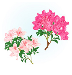Branches pink flowers rhododendrons vector