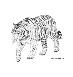 tiger sketch walking monochrome on white vector image