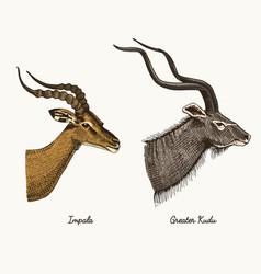antelopes impala and greater kudu hand vector image