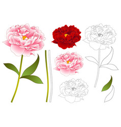 pink and red peony flower outline vector image