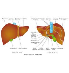 liver anatomy vector image