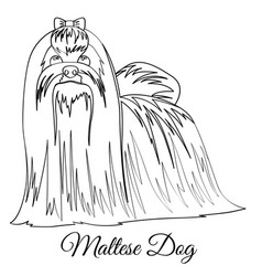 maltese dog coloring vector image