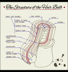 structure of human hair vector image vector image