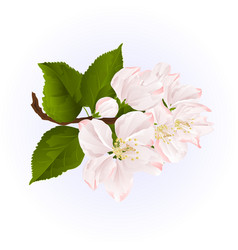 apple blossom twig with leaves blue background vector image