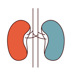 Color sections simple silhouette renal system of vector