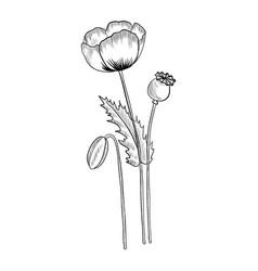 Drawing opium poppy vector