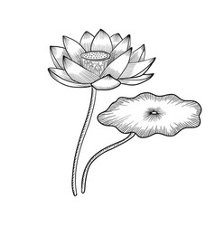 Drawing lotus flower vector