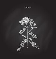 achillea millefolium or yarrow medicinal plant vector image vector image