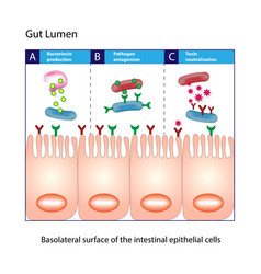 gut lumen columnar intestinal epithelial cells vector image