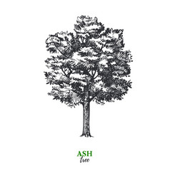 Hand drawn sketch ash tree isolated vintage vector