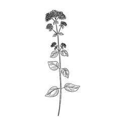Drawing oregano plant vector