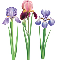 Flowers of iris vector image vector image